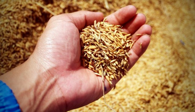 A hand holding a handful of grains.